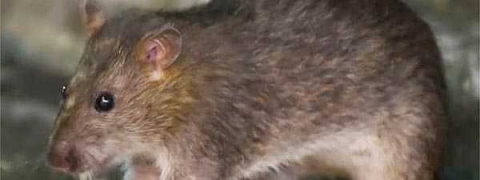 World's first human case of rat disease hepatitis E discovered
