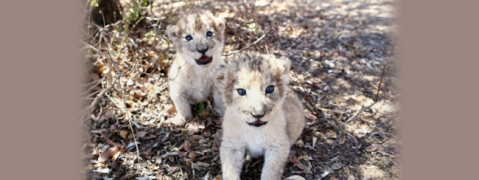 South Africa succeeds in producing artificially conceived lion cubs
