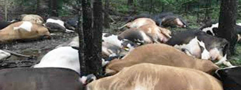 Nine cows, two bulls electrocuted in Etah cow shelter