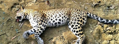 Leopard hit to death by unknown vehicle in Gujarat
