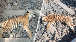 Two tiger cubs found dead in Chandrapur