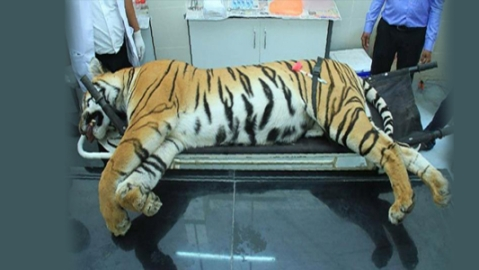 Tigress Avni not killed in self defence: Autopsy report