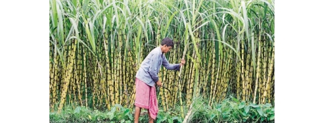 UP govt clear 99 pc cane dues of last season