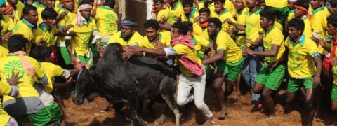 Bull tamer gored to death, 8 hurt in Jallikattu