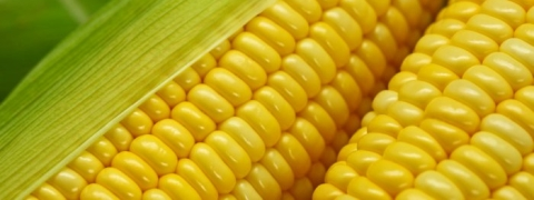 Kaveri Seeds announces commencement of its corn cob drying facility