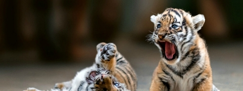 Tiger cub to be discharged from hospital in Thane