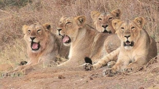 Lioness dies in Gir; man-animal conflict continues in Gujarat