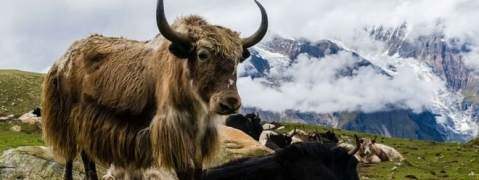 Bid to save surviving Yaks: administered Anti-stress in Lachen Valley