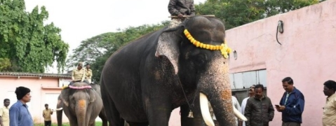 Dasara elephants weight has increased as compared to last year