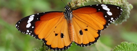 Guj govt to soon declare 'saffron' coloured plain 'tiger butterfly' as 'state butterfly'