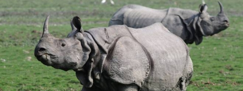 Increase in rhinoceros population in two national parks in Bengal: Mamata