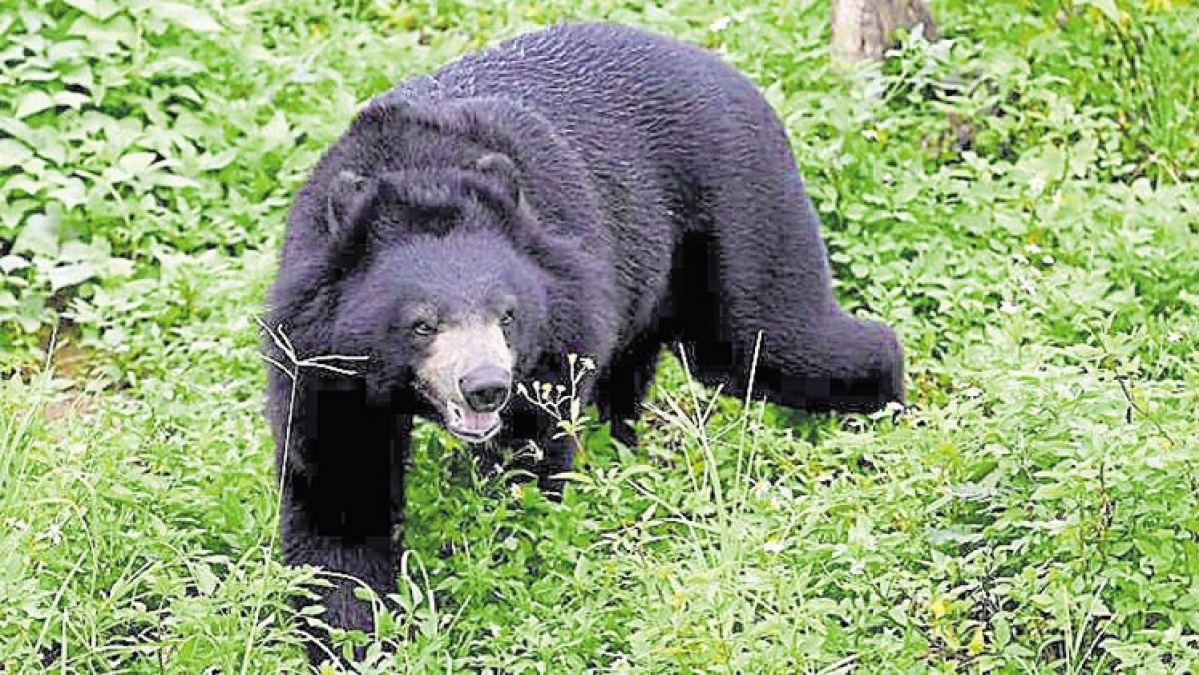 Bear mauls Sub –divisional Engineer on duty in BSNL office