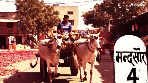 मंदसौर की धान मंडी में शिवराज सरकार के खिलाफ झलका किसानों का गुस्सा