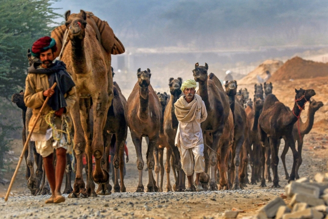 राजस्थान के पुष्कर में ऊंट मेला लगता है. पांच दिन तक चलने वाला ये ऊंट मेला दुनिया का सबसे बड़ा ऊंट मेला माना जाता है (15 नवंबर)