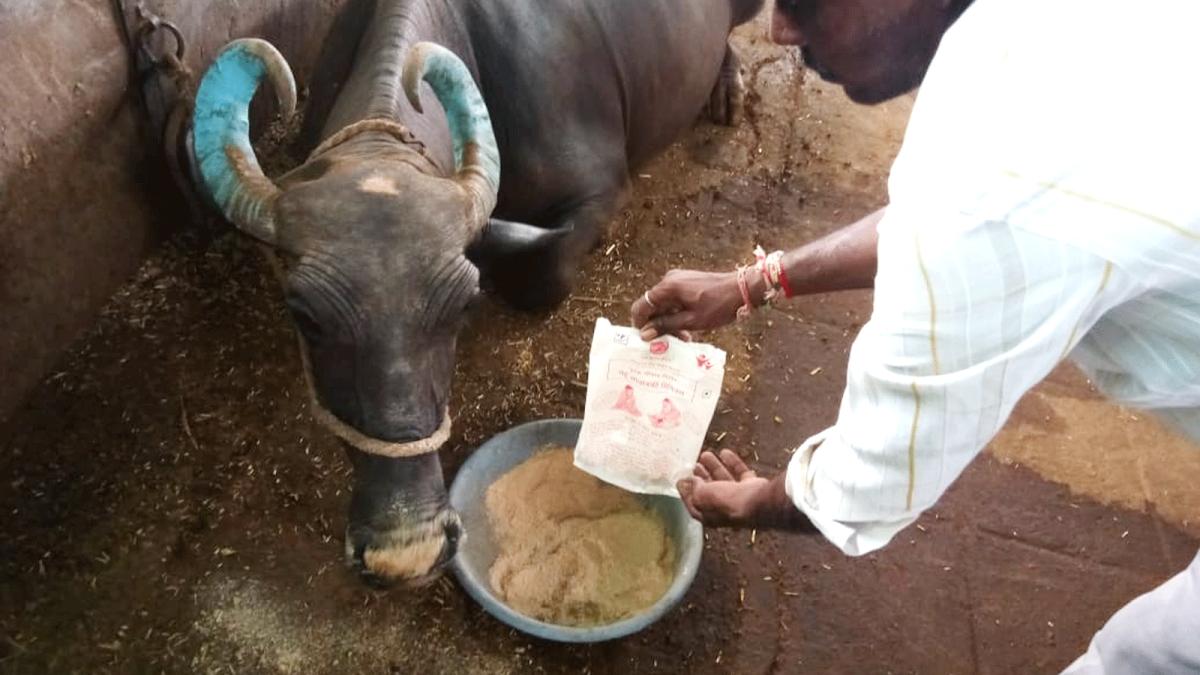 बड़वानी: आंगनबाड़ियों में बच्चों का पोषण आहार पशुओं को दिया जा रहा
