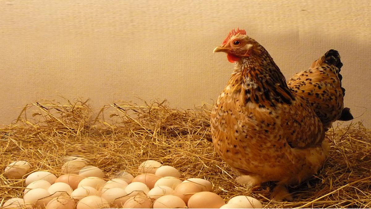 कुपोषण खत्म करने की ये कैसी मांग, अंडा नहीं मुर्गी दो