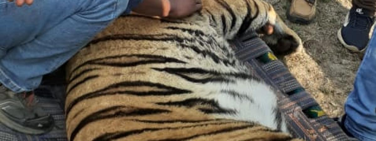 पकड़ा गया आदमखोर बाघ