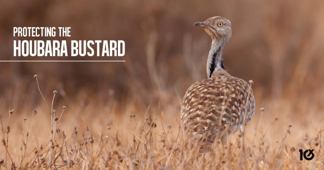 Protecting the houbara bustard