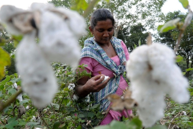 Cultivation Of Unauthorised Bt Brinjal, HTBT Cotton Gains Roots Across The Nation As Farmers Seek New Technology