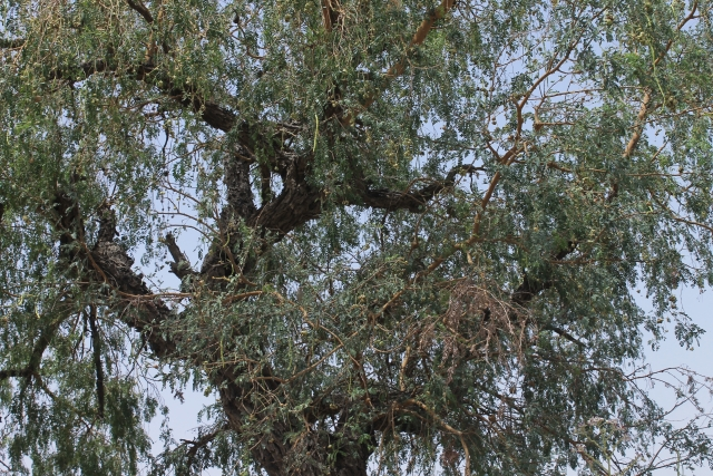 The tree of life: Khejri tree and <i>sangri </i>growing on it.