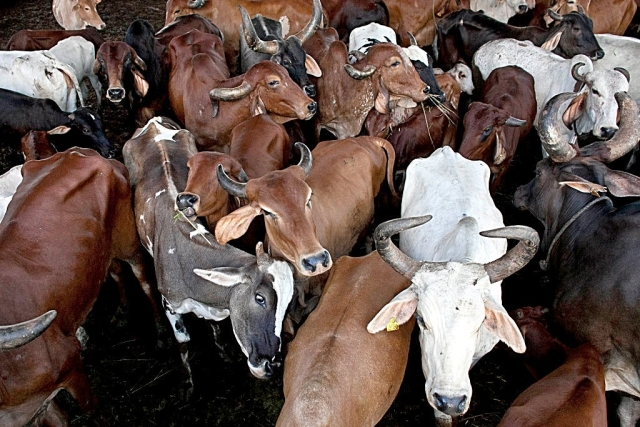 West Bengal: BSF Jawans Rescue Cows Rigged With Explosives Near Bangladesh Border