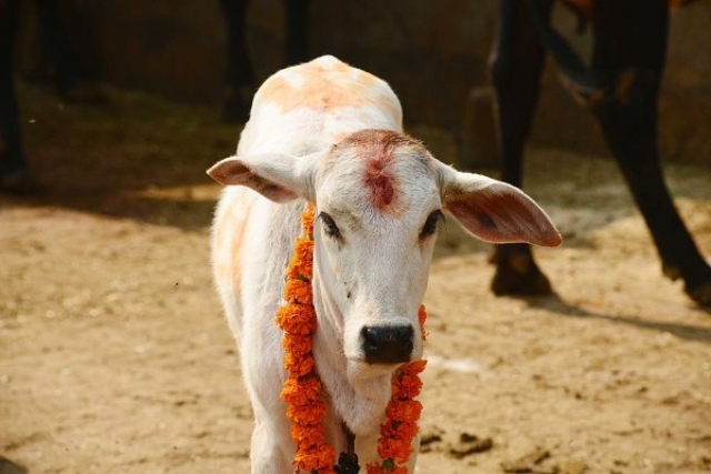 Maharashtra: Uddhav Govt Could Reverse Cow-Protection Scheme Which It  Had Previously Supported
