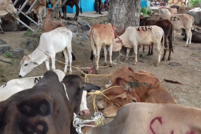 Assam: Bangladeshi Killed, Cow Seized In BSF Encounter With Cattle Smugglers At The India-Bangladesh Border