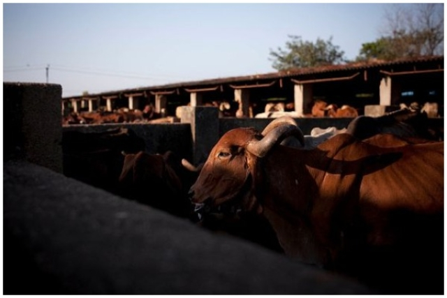 India Needs Bovine Intervention On Priority, Else We Risk The Curse Of TB