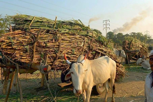 Bullock carts laden with sugarcane outside a sugar factory in Maharashtra.