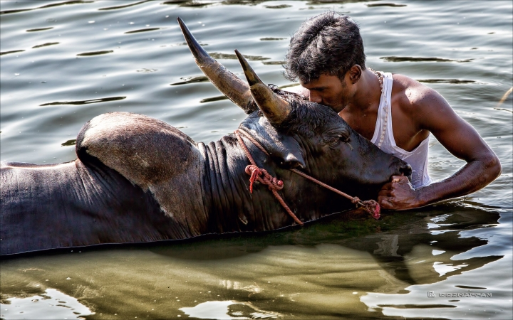 In Pictures: What Really Happens At A Jallikattu
