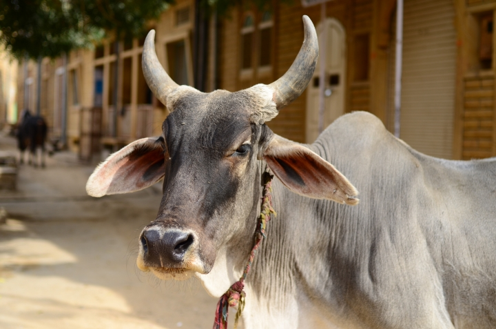 Member Of Group Which Slaughtered A Cow On Holi To Trigger Communal Tensions Nabbed By Delhi Police