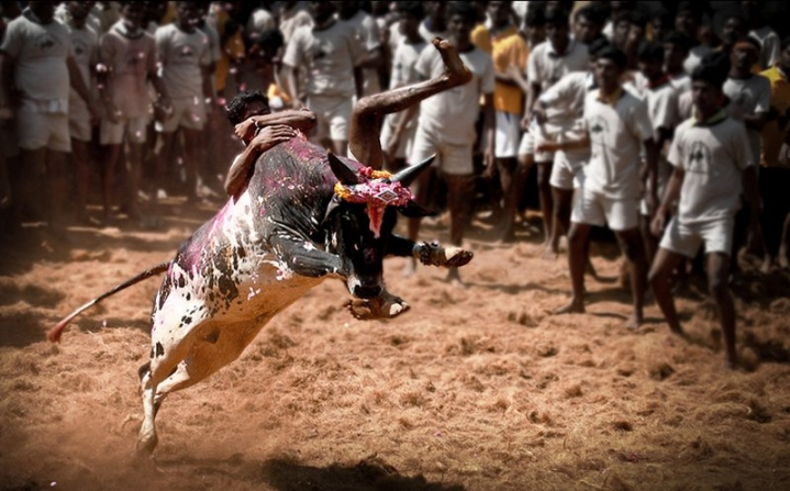 TN Government Grants Permission To Conduct Jallikattu In Three Places, In The Aftermath Of Statewide Protest