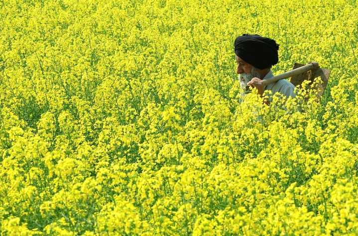 India A Step Closer To Cultivating GM Mustard