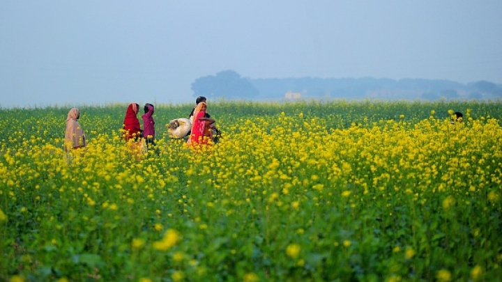 GM Mustard: Unscientific Propaganda Has Cost Farmers A Fortune Says Geneticist Deepak Pental