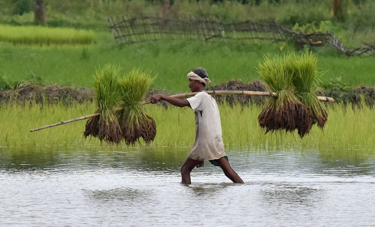 An Indian farmer carries paddy seedlings for planting in his agricultural field (BIJU BORO/AFP/Getty Images)