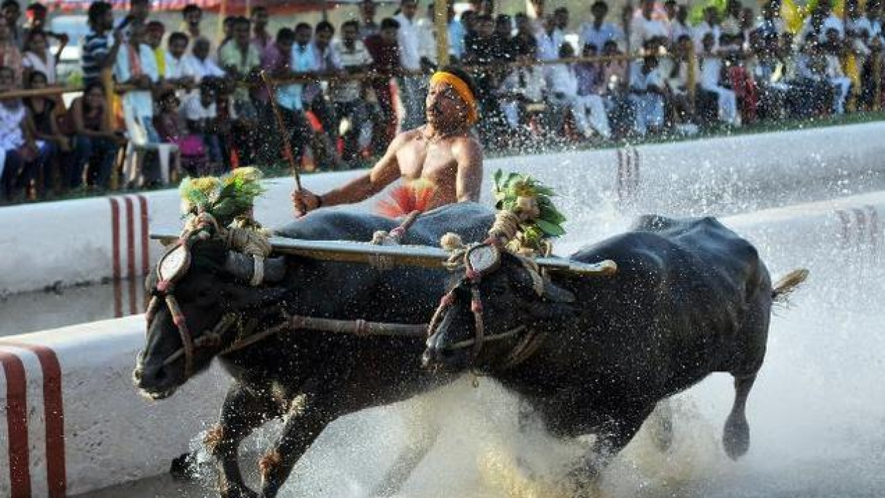 Reclaiming Hindu Traditions: Karnataka Passes Bill To Legalise Kambala