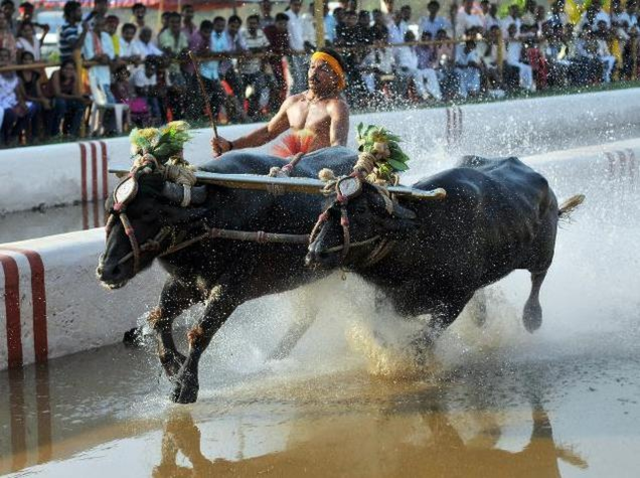 Reclaiming Folk Traditions: After TN's Jallikattu Success, Karnataka Looks To Pave Legal Way For Kambala