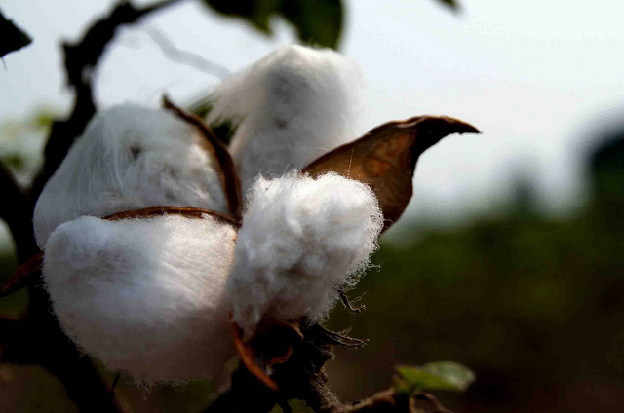 Only Bt cotton is allowed to be grown for commercial cultivation in India. (Abhishek Srivastava/Flickr)