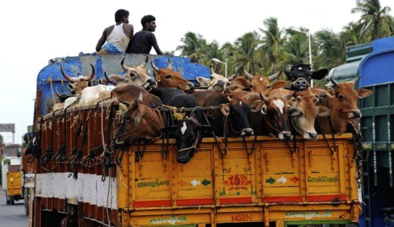 Cattle being transported in an open truck.