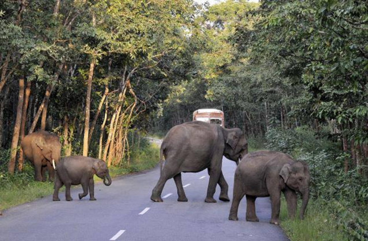 Elephants crossing a highway in Bandipur