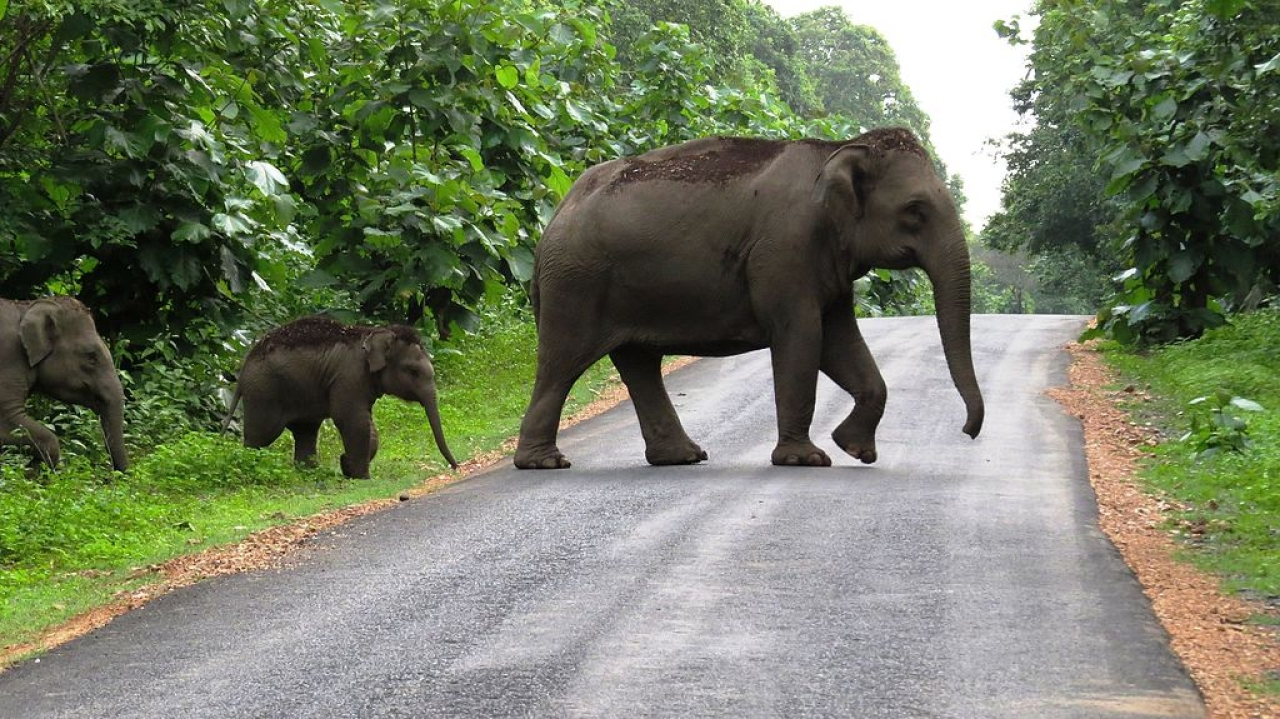 Elephants strolling in Dandeli (sangramparida02@gmail.com/Wiki Commons)
