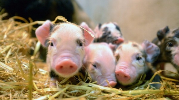 Organ Transplants From Pigs To Humans On The Horizon, Thanks To Gene Editing