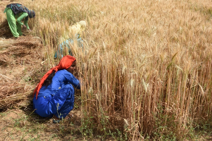 Expecting Record Domestic Wheat Production At 100 Million Tonnes, Government Hikes Import Duty  To 40 Per Cent