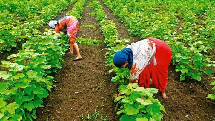 Insufficient Rains, Pesticide Poisoning And Pest Attacks Behind Maharashtra Agri Crisis Says Task Force Leader