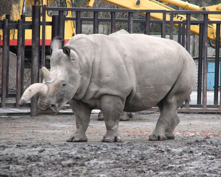 How Science Can Bring Back The Northern White Rhino