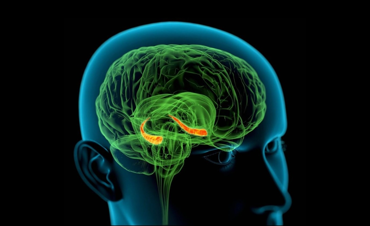 "The hippocampus in the brain, depicted in orange, is the seat of memory. (<a href=""http://newsroom.cumc.columbia.edu/blog/2012/08/30/how-ptsd-impairs-learning-and-memory/"">Columbia University Irving Medical Centre</a>)"