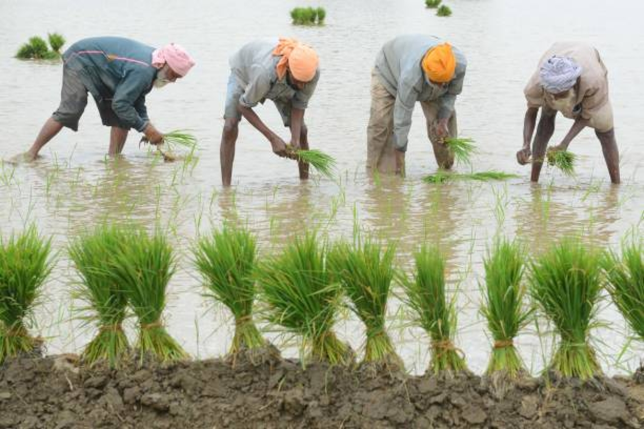 Indian farm labourers plant paddy seedlings in a field on the outskirts of Amritsar. (NARINDER NANU/AFP/Getty Images)
