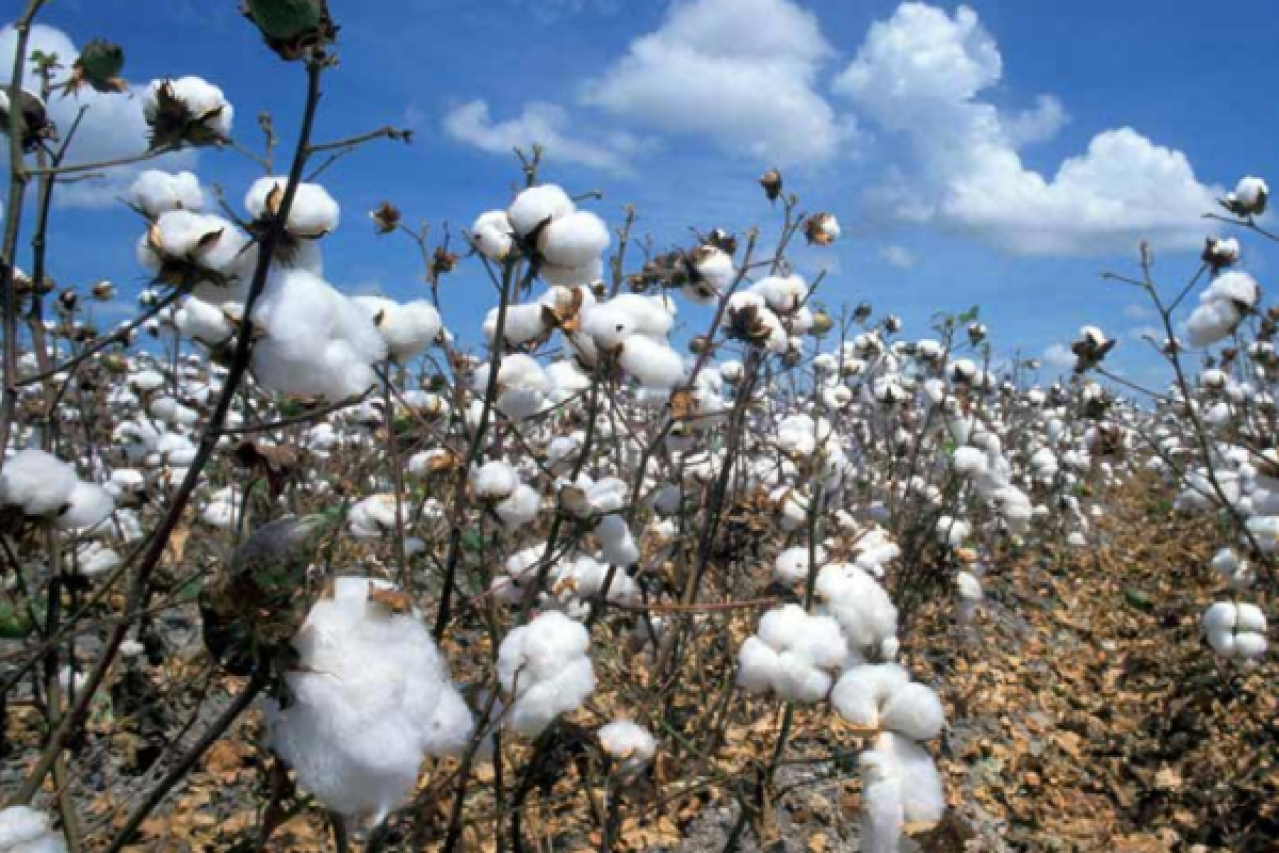 Bt cotton has raised India's production by several times. In 2014-15, India became the world's second largest cotton producer, after China.