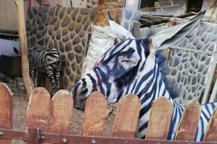 Egyptian Zoo Is Accused Of Painting Donkey To Pass It Off As A Zebra
