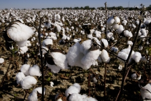 Modi Government Faces Hobson's Choice Over Farmers' Demand To Grow Third-Generation Genetically-Modified Cotton